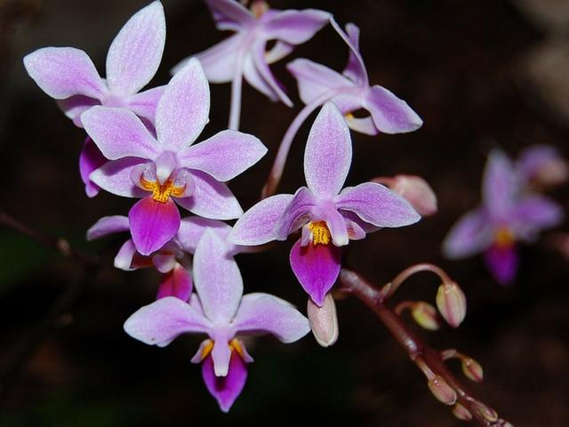Phalaenopsisequestris-4.png