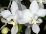 Phalaenopsisequestris.png