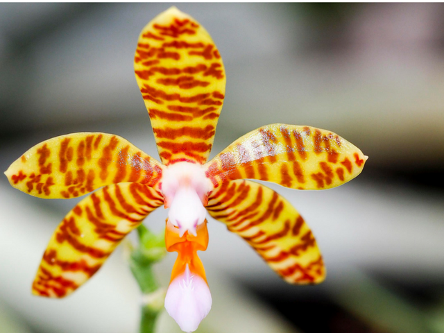 Phalaenopsisfasciata-3.png