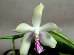Phalaenopsisfimbriata1.png