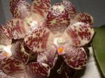 Phalaenopsisgigantea1.png