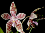 Phalaenopsishieroglyphica1.png