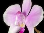 Phalaenopsislowii1.png