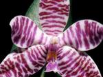 Phalaenopsislueddemanniana1.png