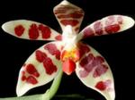 Phalaenopsismaculata1.png