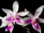 Phalaenopsismodesta1.png