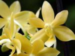Phalaenopsisodmianaflava-2.png