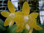 Phalaenopsisodmianaflava-4.png