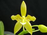 Phalaenopsisodmianaflava-6.png