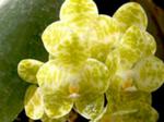 Phalaenopsisodmianaflava.png