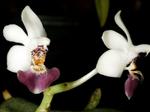 Phalaenopsisparishii1.png