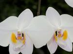 Phalaenopsisphilippinensis1.png