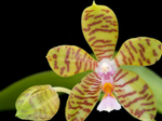 Phalaenopsisreichenbachiana1.png