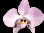 Phalaenopsissanderiana1.png