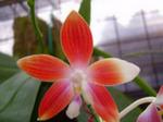 Phalaenopsisspeciosa.png