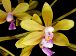 Phalaenopsisstobartiana1.png