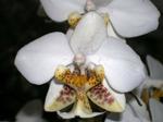 Phalaenopsisstuartiana1.png