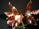Phalaenopsissumatrana1.png