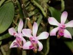 Phalaenopsistaenialis1.png