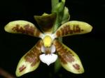 Phalaenopsisviridis1.png