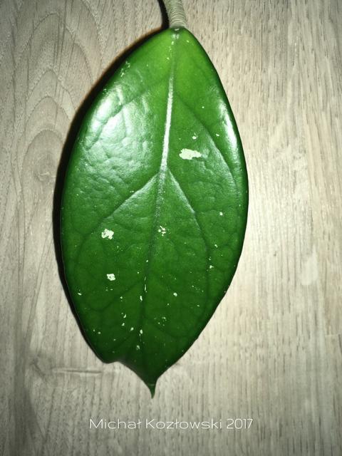 hoya-2-2.png
