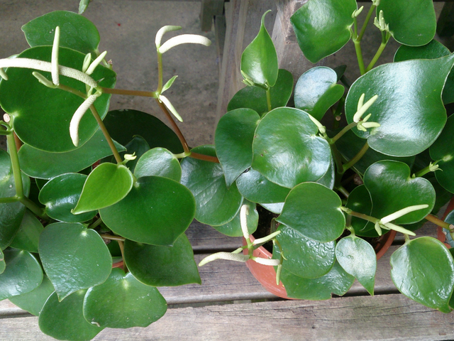 peperomia.png