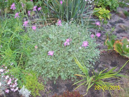 Centaureabella-chabernadobny.jpg
