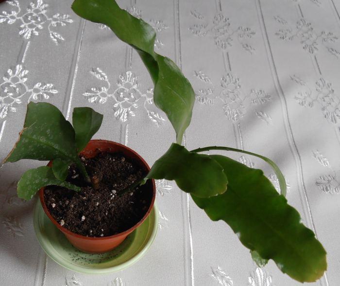 Epiphyllumoxypetalum.jpg