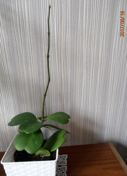HoyaKerrii-3.jpg