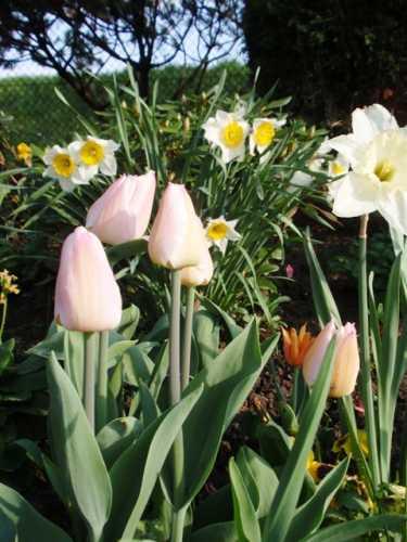 tulipany2.JPG