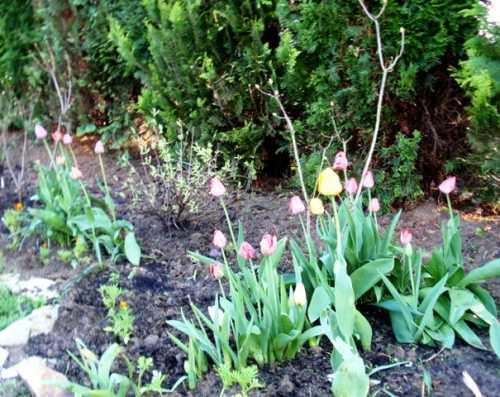 tulipanyiazalie.JPG