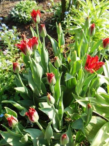 tulipanyprzyskalniaku.JPG