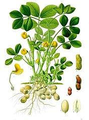 177px-Arachis_hypogaea_-_Khlers_Medizinal-Pflanzen-163.jpg