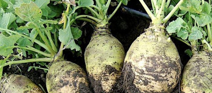 Rutabaga_variety_nadmorska-798x350.jpg