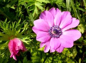anemone-300x219.jpg