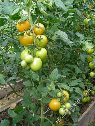 pomidorpozna1-2.jpg