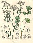 Apiacella-Pimpinella-anisum-1.jpg