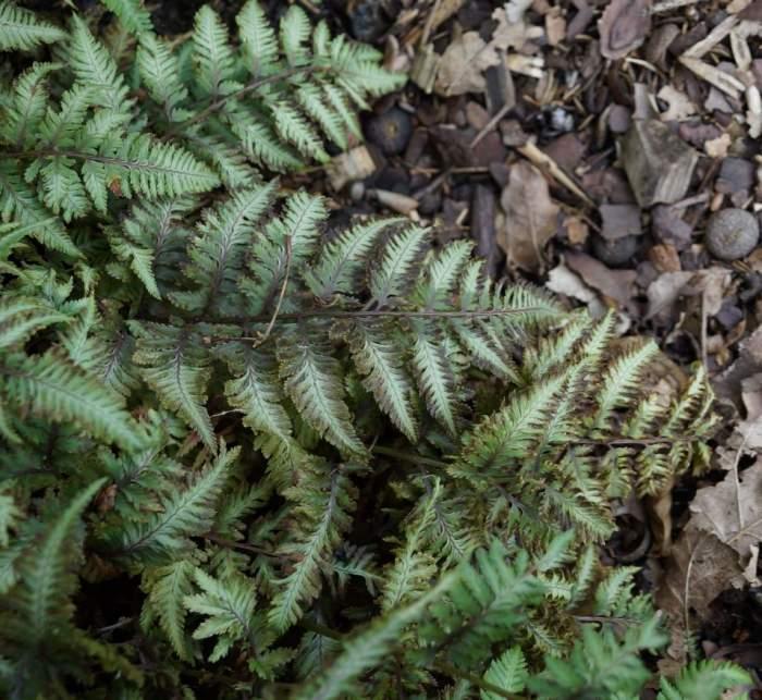Athyrium-niponicum-red-beauty2.jpg