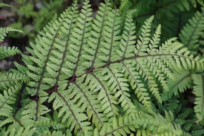 Athyrium-otophorum-lisc.jpg