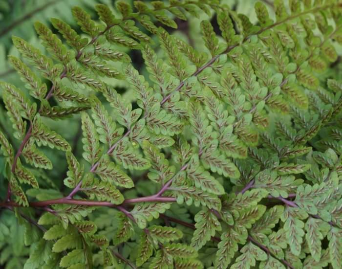 Athyrium-otophorum-zarodniki.jpg