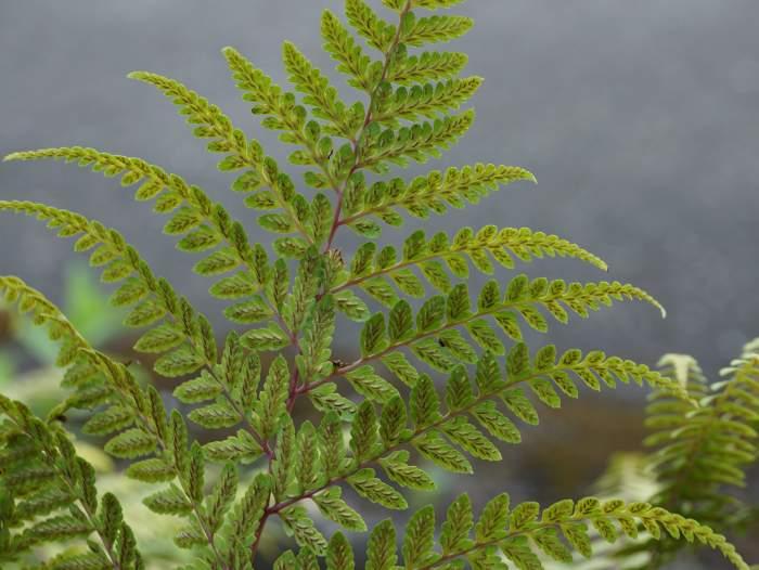 Athyrium-otophorum-zarodniki1.jpg