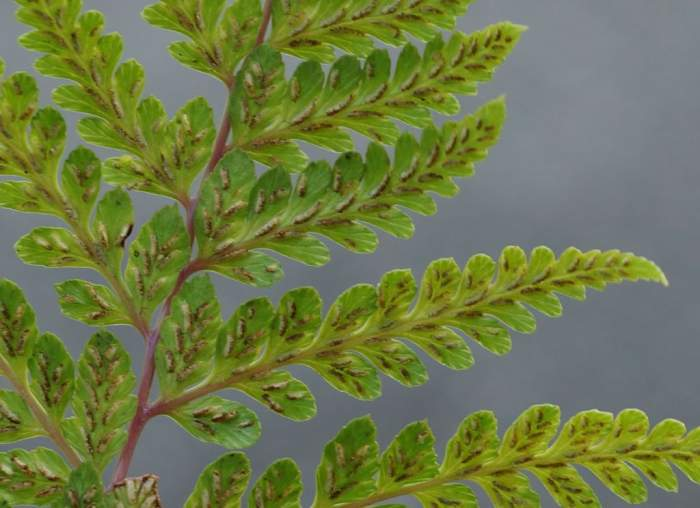 Athyrium-otophorum-zarodniki2.jpg