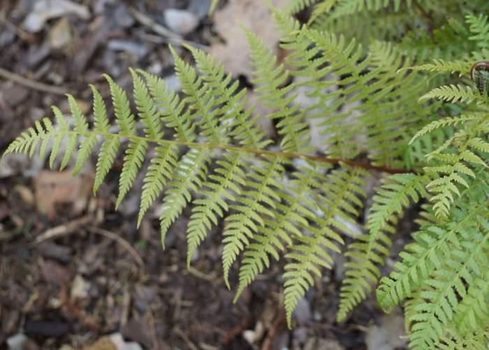 Athyrium-vidalii-lisc.jpg