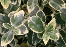 Euonymus-Emerald-Gaiety.jpg