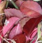 Euonymus_fortunei_Coloratus-czerwien.jpg