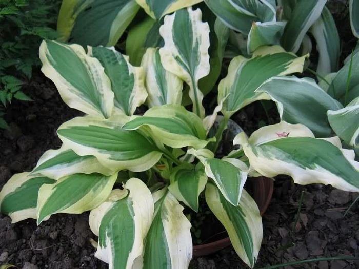 Ground-Master-hosta.jpg