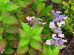 Hydrangea-serrata-Golden-Sunlight.jpg