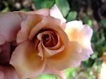 Julias-Rose.jpg