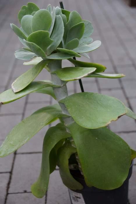 Kalanchoe-thyrsiflora-doniczka.jpg