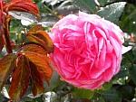 La-Rose-de-Molinard.jpg